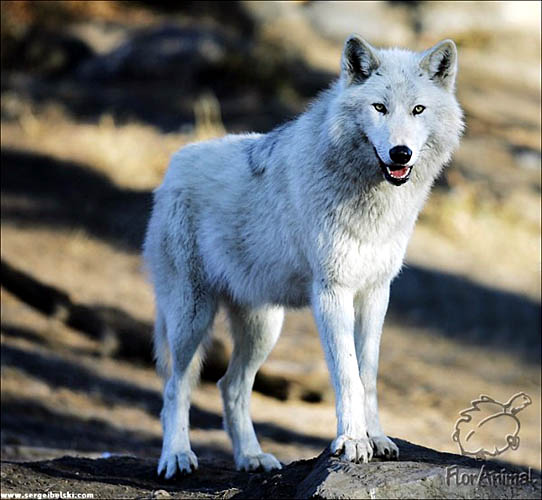 штраф за убитого волка.