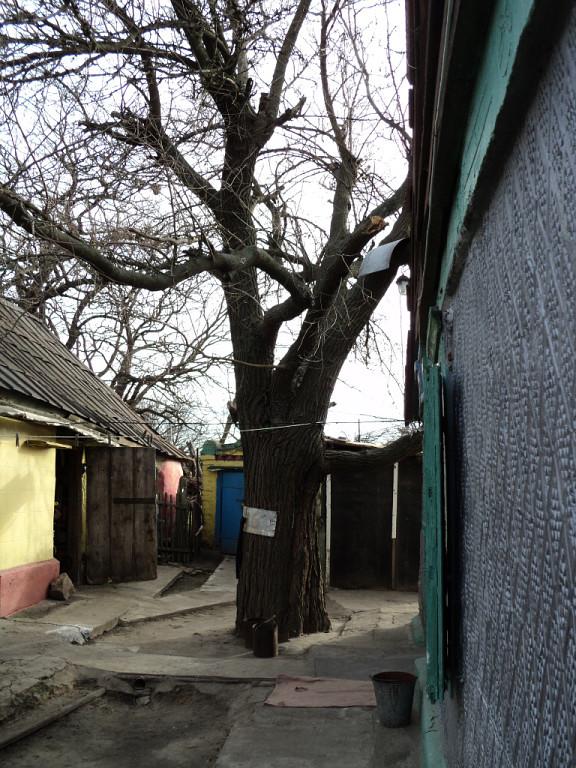 шелковица во дворе