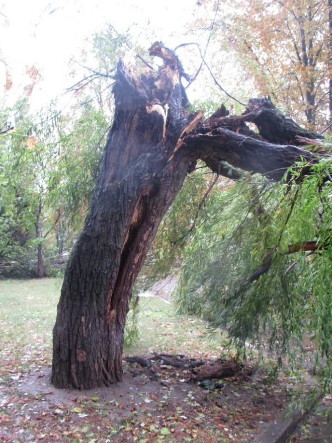 Директор школы почему-то не видела на своей территории гнилое дерево