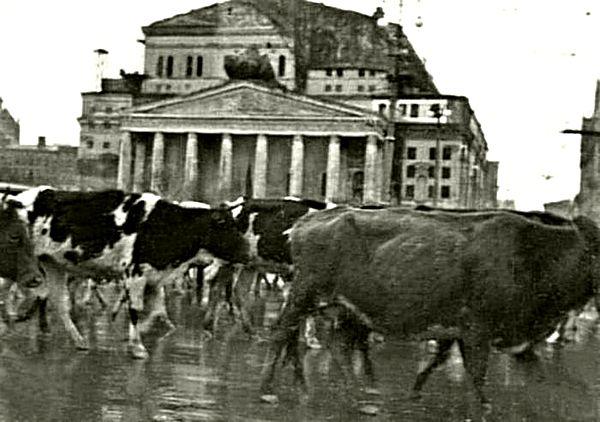 14. коровы