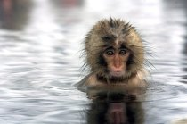 Makaken genießen Bad in heißer Quelle