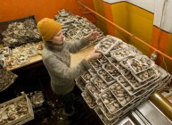Worker sort mushrooms at a private farm workshops of which are located inside hangars of a former Soviet missile military base in the village of Minoity